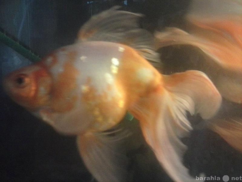 Продам золотые рыбки