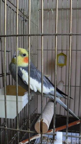 Продам: Продам попугая карелла с клеткой