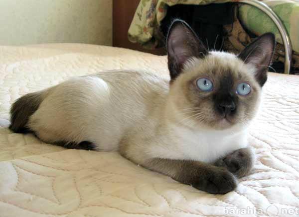 Отдам даром: Котята меконгского бобтейла