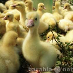Продам гусята суточные Линда