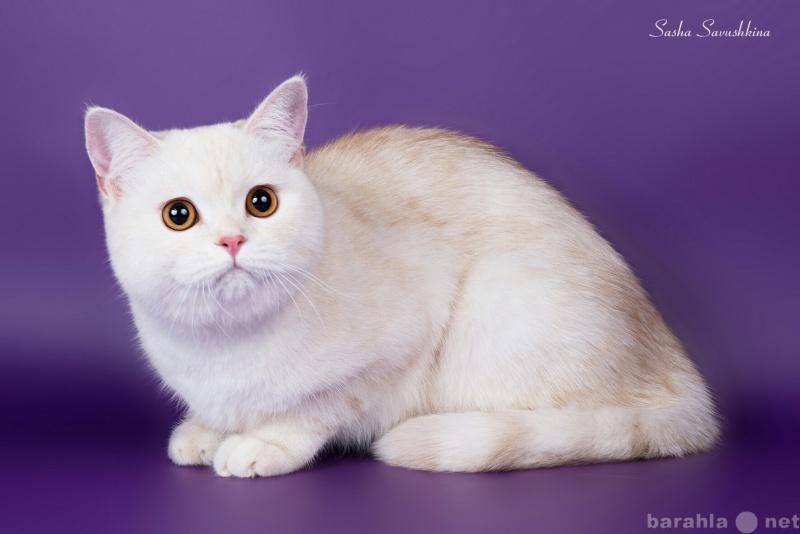 Продам Кошка камео шелл