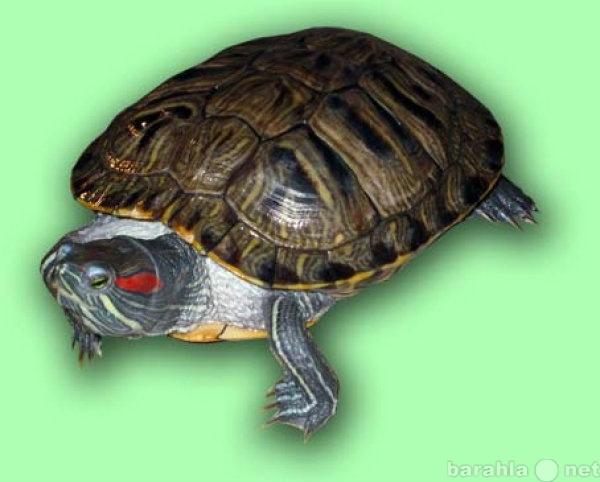 Продам ПРОДАМ КРАСНОУХИХ черепах
