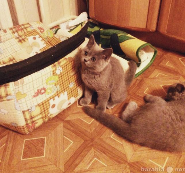 Продам Продажа британских котят