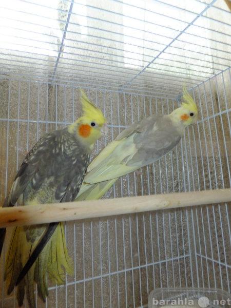 Продам Волнистые попугаи и кореллы от заводчика