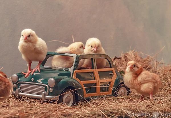 Продам Цыплята домашние