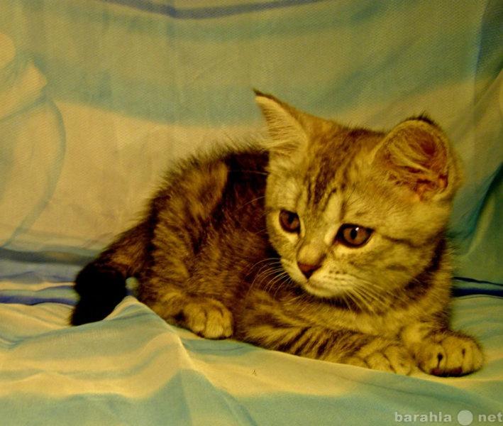Отдам даром Британский котенок в подарок.
