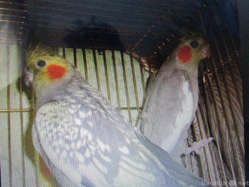 Продам попугаи