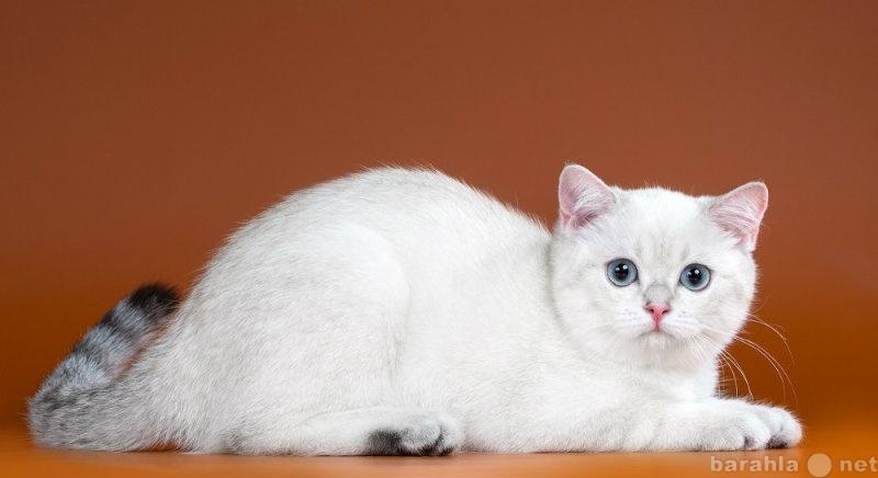 Отдам даром: Британские котята