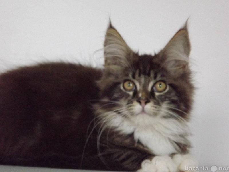 Продам: Котята породы мейн-кун