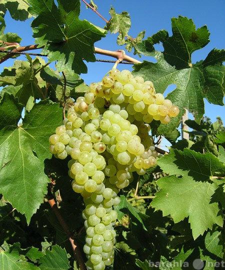 Куплю купим виноград