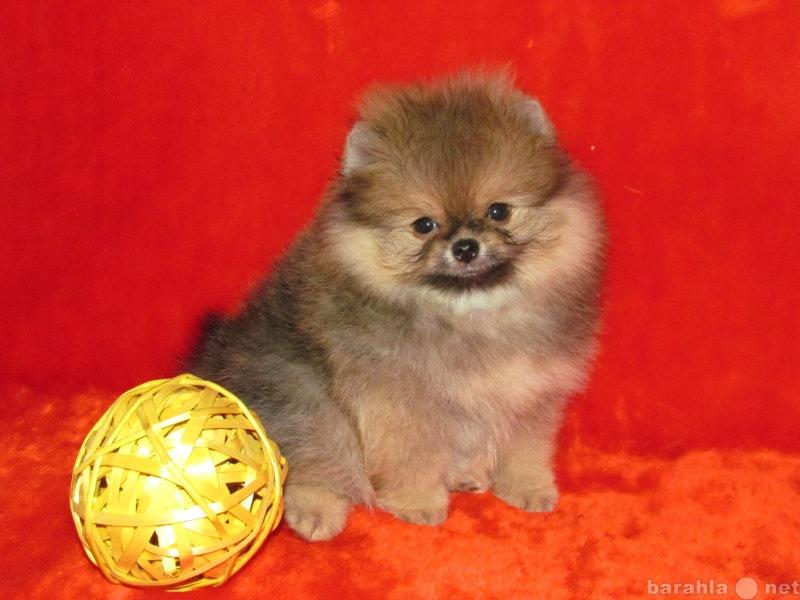 Продам щенок миниатюрного шпица