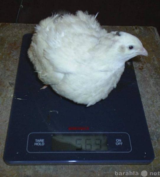 Продам Инкубационное яйцо перепелов Белыйгигант
