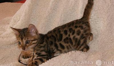 Продам Бенгальские клубные котята