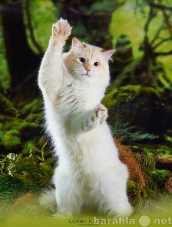Продам невский маскарадный кот