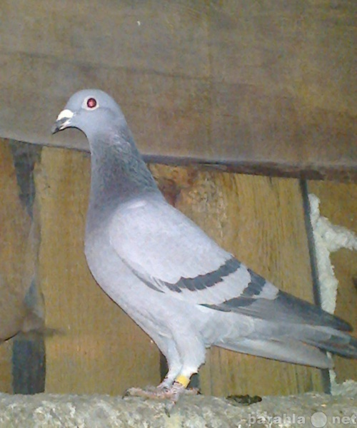 Продам: голуби почтовые