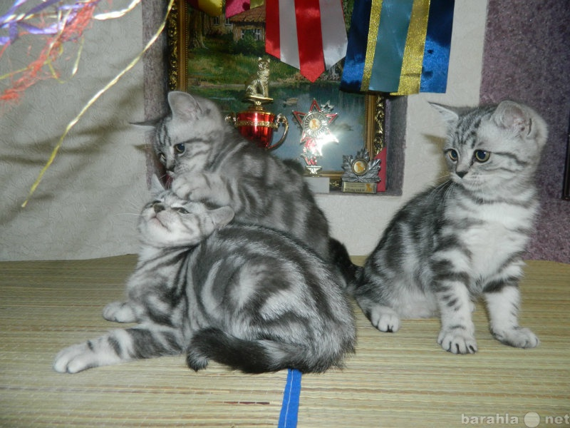 Продам Британские шикарные котята