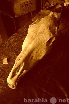 Продам череп лошади настоящей