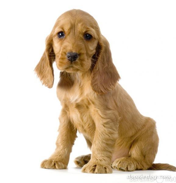 Куплю: куплю щенка американского кокер-спаниеля