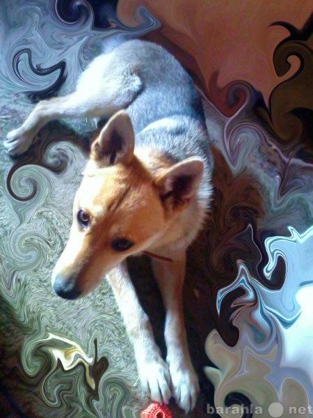 Отдам даром: щенки от западно сибирской лайки