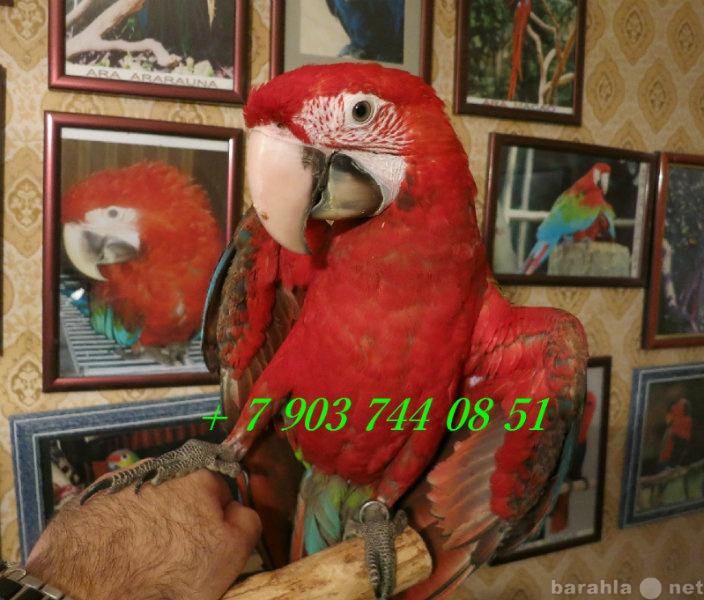 Продам Зеленокрылый ара - птенцы выкормыши