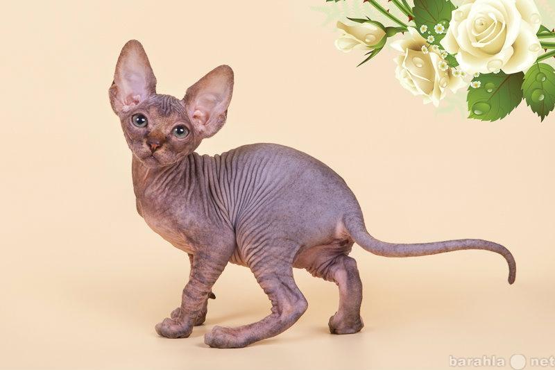 Продам Уникальное животное-инопланетный сфинкс.