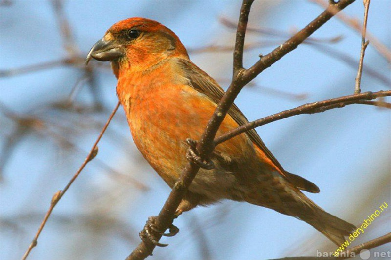 Продам Лесные российские певчие птицы