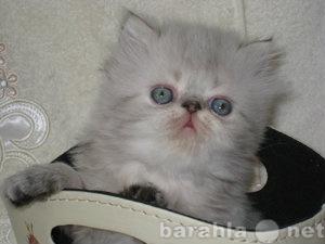 Продам Колор-пойнты с голубыми глазами