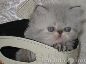 Продам Персидская кошечка