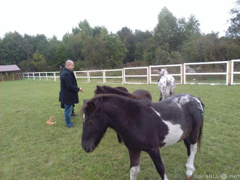 Продам Продам кобылку пони, рост 100 см