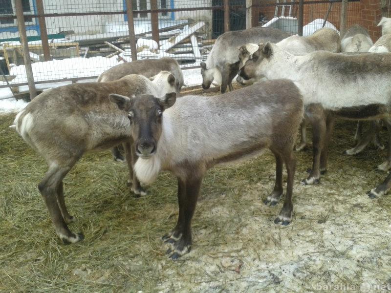 Продам северных оленей молодняк