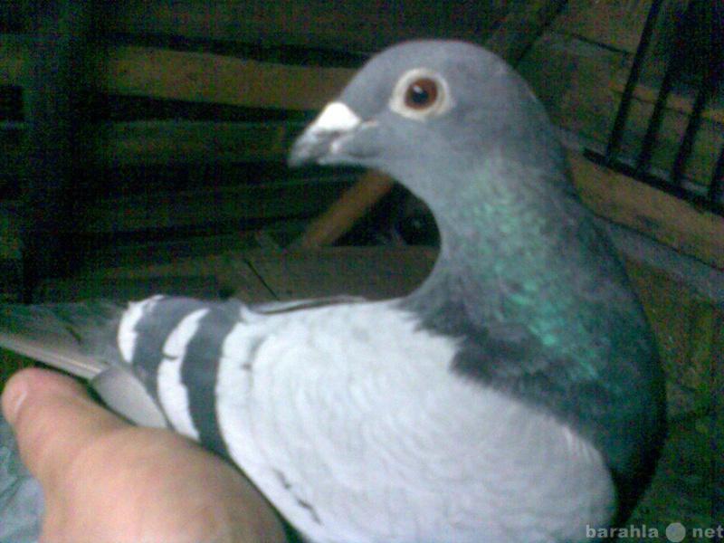 Продам почтовых голубей