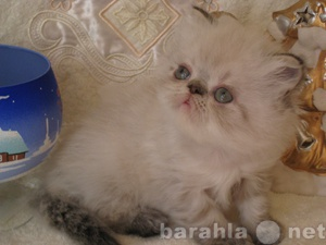 Продам персидский котик колор-пойнт