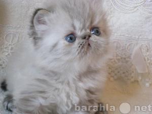 Продам: Гималайские котята