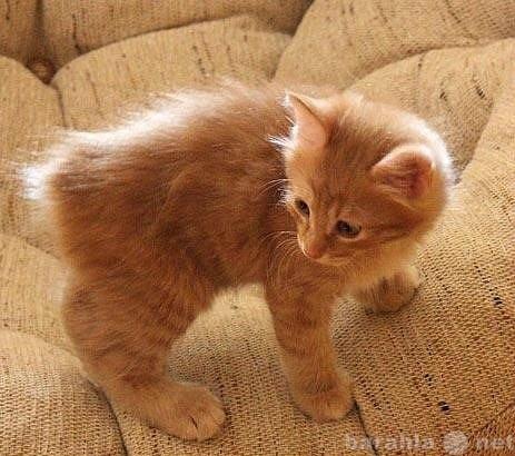 Продам Продаются котята курильского бобтейла