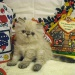 Продам Гималайские котята