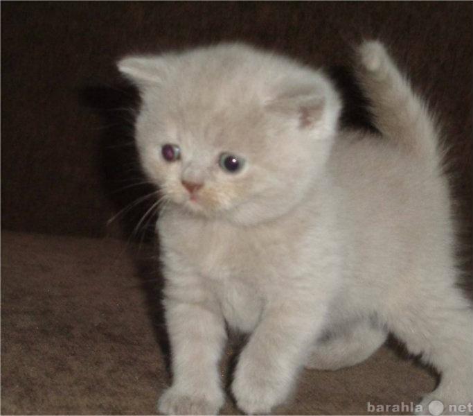 Продам Лиловый британский котенок