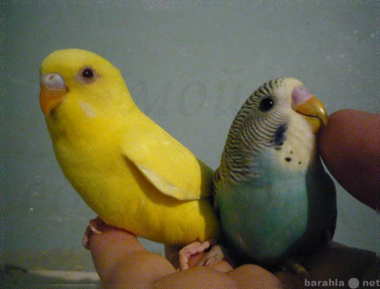 Продам попугай волнистый, птенцы