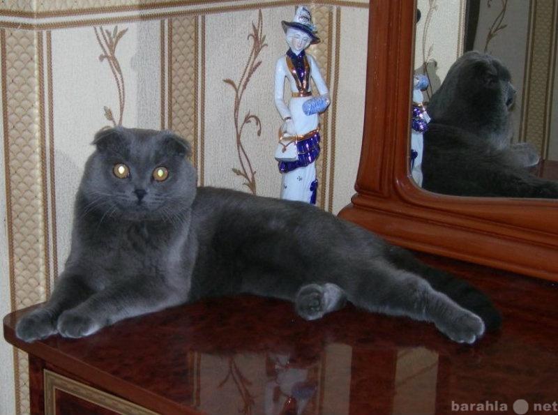 Продам Шотландский вислоухий кот ищет подругу