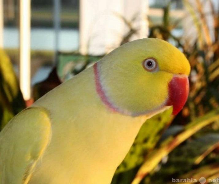 Продам Цветной кольчатый попугай и другие попуг