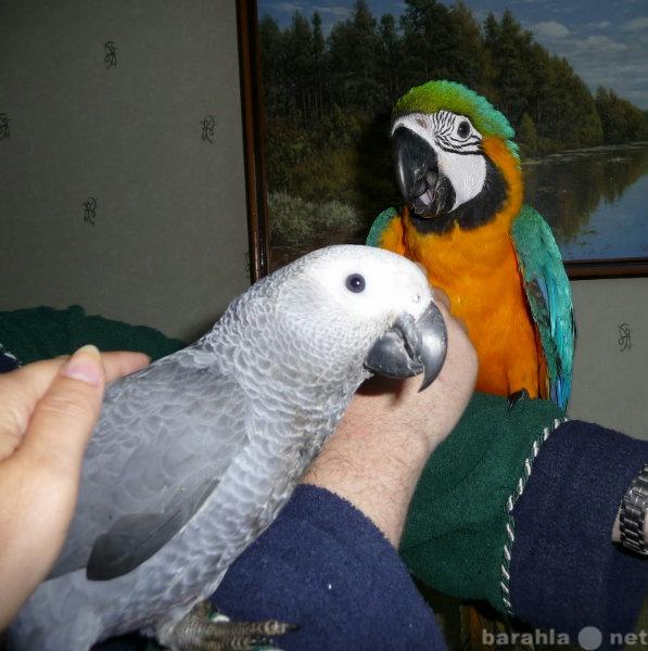 Продам Попугаи Жако Краснохвостый попугай ручно