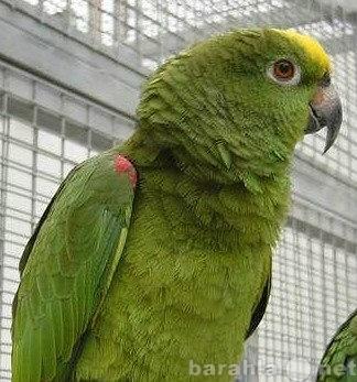 Продам: Попугай Желтолобый амазон и другие попуг