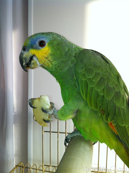 Продам Попугаи Венесуэльский амазон ручной попу