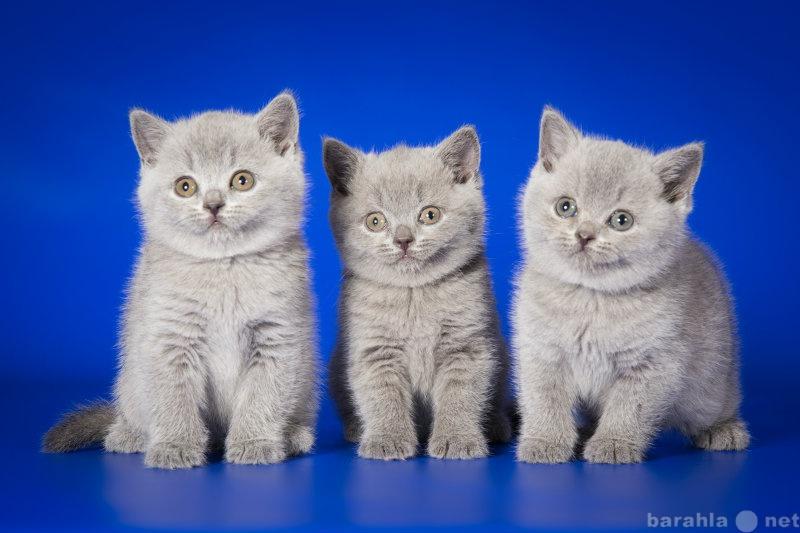 Продам Британские чистопородные котята