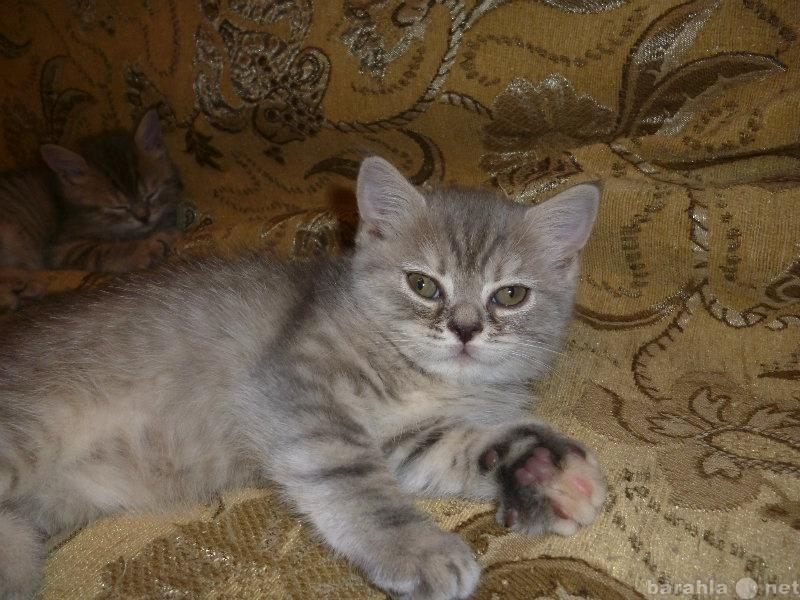 Продам голубо-кремовые котятки