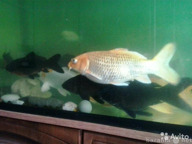 Продам: рыбы кои