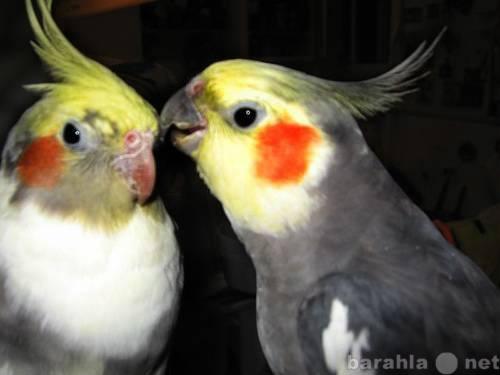Продам 2 попугая Карелла