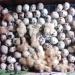 Продам Яйцо инкубационное техасский перепел