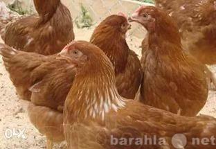 Продам Курицы-несушки породы Хайсекс Браун