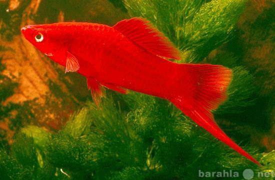 Продам Меченосцы - яркие эффектные аквариумные