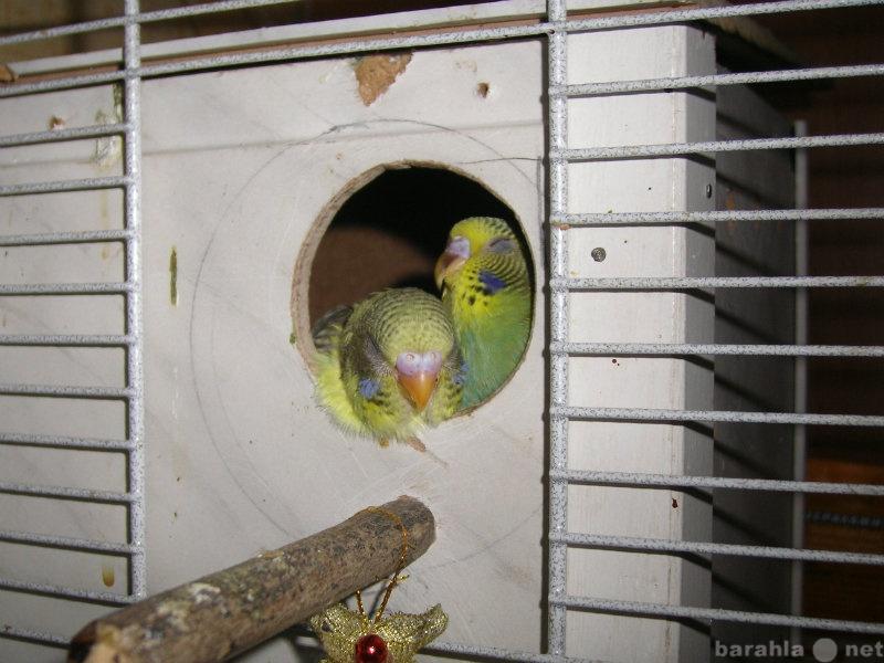 Продам Волнистые попугаи домашнего разведения
